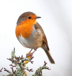 European robin by John Malloy Rødkælk Rødhals bird cute nuttet adorable Cute Birds, Pretty Birds, Small Birds, Little Birds, Colorful Birds, Beautiful Birds, Animals Beautiful, Cute Animals, Funny Birds