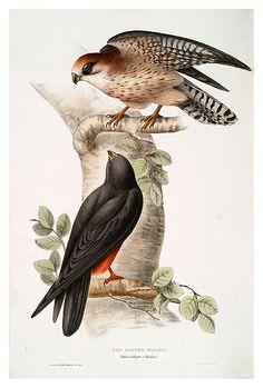 009-Halcon de patas rojas- The birds of Europe Tomo I-1837- John Gould