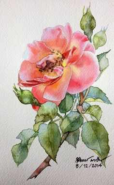 Roses by Ti Watercolor Botanical Drawings, Botanical Art, Botanical Illustration, Watercolor Illustration, Watercolor Rose, Watercolor Cards, Watercolour Painting, Watercolors, Watercolor Projects