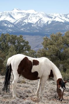 Wild horse outside of Virginia City Nevada, with Mount Rose as a backdrop.
