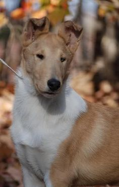 smooth collie pup | sable and white