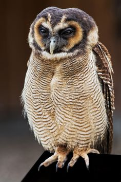 Brown Wood Owl (Strix leptogrammica) by Jean-Claude Sch. on 500px