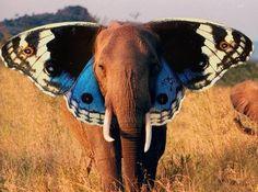 elephant butterfly wings