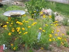 Coreopsis (Mayfield giant): p222, 2-3', summer, well drained soil