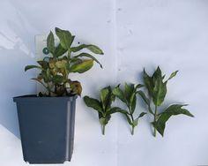 Moseplassen - livet i hagen   Om å ta stiklinger/ lage flere planter av plantene dine :)