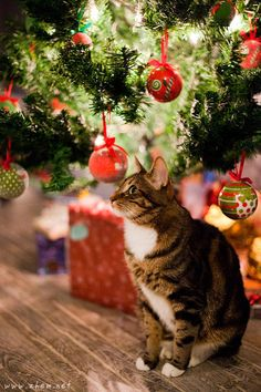 """** """"Me consider meself to be soes lucky to be wif humans dat dont's play 'dress-up de kitteh' fer Christmas. Dey enjoy me az me be."""""""