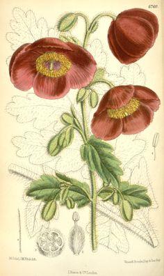 Meconopsis paniculata var. fusco-purpurea - circa 1884