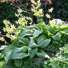 Dog-Tooth Violet  A charming woodland plant, dog-tooth violet bears lily-shaped flowers in shades of white, cream, yellow, and pink. Many selections also offer speckled foliage.  Name: Erythronium grandiflorum  Growing Conditions: Shade and moist, well-drained soil  Size: To 1 foot tall  Zones: 4-9