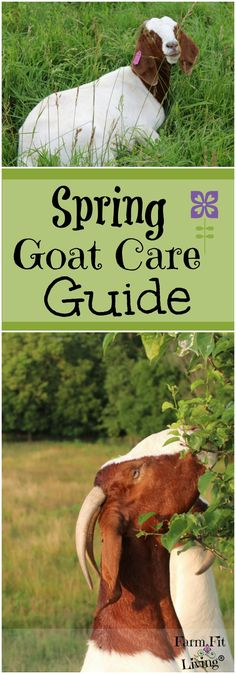 Are you looking for the best care tips for taking care of your goats this spring? Here's five tips from my spring goat care guide. Keeping Goats, Raising Goats, Goat Pen, Starting A Farm, Goat Care, Boer Goats, Goat Farming, Live Fit, Hobby Farms
