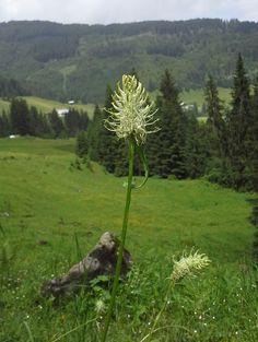 Ährige Teufelskralle (Phyteuma spicatum). #Kleinwalsertal #Riezlern. Sie wird in der Wildkäuterküche verwendet, in Smoothie, Salate, als Gemüse,...