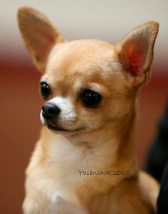 Effective Potty Training Chihuahua Consistency Is Key Ideas. Brilliant Potty Training Chihuahua Consistency Is Key Ideas. Teacup Chihuahua Puppies, Chihuahua Love, Cute Puppies, Cute Dogs, Dogs And Puppies, Doggies, Poodle Puppies, Funny Animals, Cute Animals