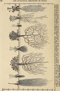 """Image from page 45 of \""""The ecological relations of roots\"""" Identifier: Title: The ecological relations of roots Year: 1919 Authors: Weaver, John E. (John Ernest), Subjects: Roots (Botany) Plant ecology Publisher: Washington, Carnegie institution of Botanical Drawings, Botanical Prints, Potager Bio, Tree Roots, Nature Study, Ecology, Illustrations, Illustration Art, Landscape"""