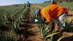 Hand Harvesting Our Aloe - Forever Living Products on Vimeo Forever Living Products, Aloe Vera, Health And Beauty, Harvest, About Me Blog, Pure Products, Plants, Hands, Flora
