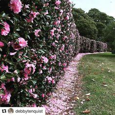 debbytenquist CAMELLIA HEDGE Southern Highlands Australia Sasanqua camellias make a wonderful evergreen hedge with the added Hedges Landscaping, Garden Hedges, Front Yard Landscaping, Landscaping Ideas, Rose Hedge, Flower Hedge, Flower Tree, Hedging Plants, Shrubs