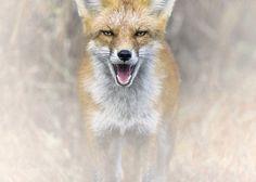 Red Fox in fog #PatrickBorgenMD