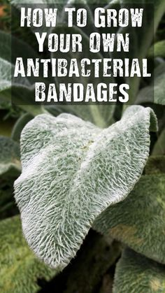 Garden herbs leaves How To Grow Your Own Antibacterial Bandages - This is truly the best plant herb you can grow in your garden. Lambs ear is easy to grow, easy to transplant and has a tonne of uses some of you may not know. Healing Herbs, Medicinal Plants, Natural Healing, Holistic Healing, Natural Oil, Holistic Wellness, Natural Garden, Natural Home Remedies, Herbal Remedies