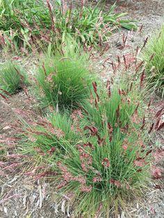 Color grasses