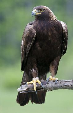 Awesome Bird Photography by Jen St. - Awesome Bird Photography by Jen St. Photo Aigle, Beautiful Birds, Animals Beautiful, Rapace Diurne, Animals And Pets, Cute Animals, Golden Eagle, Tier Fotos, Big Bird