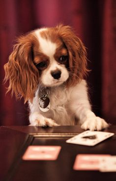 Cavalier King Charles Spaniel – Graceful and Affectionate King Charles Puppy, Cavalier King Charles Dog, King Charles Spaniel, Roi Charles, Cavalier King Spaniel, Spaniel Puppies, Puppy Play, Dressage, Dog Breeds