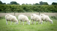 RS Notícias: Estudo diz que clones da ovelha Dolly envelheceram...