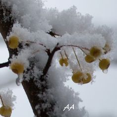 """ yellow berries "" Aili Alaiso Finland"