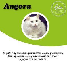 Si tienes hijos los Angora son perfectos, juguetones y amorosos.