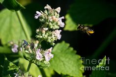 BEE IN FLIGHT Available in prints, framed prints, canvas prints, acrylic prints, metal prints, greeting cards.