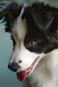 ♥border collie blue eyes<3 looks kinda like Scarlotte :)