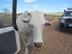 Moo the steer says hello and tries to cadge an apple or two at Home Valley Station. Western Australia, Say Hello, Traveling By Yourself, National Parks, Coast, Tours, Apple, River, Adventure