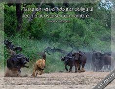 La unión en el rebaño obliga al león a acostarse con hambre.