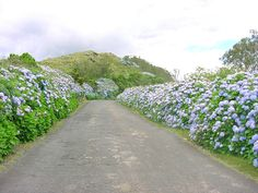 Hydrangeas bordering the road, Isle of Flores, Azores, Portugal