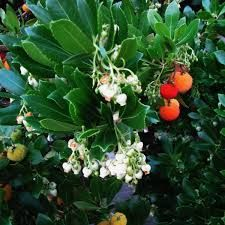 Fruit and flowers on Arbutus unedo