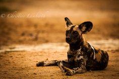 Wild Dog in the Selous, Tanzania. Read more at www.christinelamberth.blogspot.com Wild Dogs, Tanzania, Kangaroo, Wildlife, Photos, Animals, Animales, Pictures, Animaux