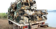 While the dog meat trade is horrific there is another dark and large industry - the dog skin trade. Dog skin is used in many leather products sold throughout the world. In particular golf gloves for which the soft leather is considered well suited. Read this link from Bloomberg's to learn more... http://mobile.businessweek.com/articles/2014-04-02/the-leather-on-those-golf-gloves-might-come-from-a-stolen-pet-in-thailand