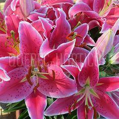 Bulbes rustiques plantés 2014 cour arrière espérons leurs retour en 2015!. Primage de Lilium After Eight