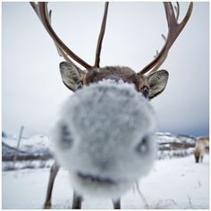 A snow-nosed and curious elk gets up close and personal with a camera lens.