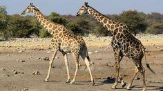 Giraffidi/Giraffa Fumosa(o Giraffa dell'Angola- Giraffa Camelopardalis Angolensis)(corteggiamento): diffusa nella zona di confine meridionale fra Angola e Zambia, oltre che nel Botswana settentrionale ed in gran parte del nord-est della Namibia.