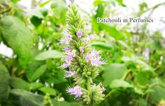 Patchouli is a wonderful green bushy herb of the mint family. The herb is graced with delicate pinkish-white flowers and aromatic leaves that have been used for centuries in perfumery, due to their wonderful and strong scent. Patchouli is native to tropical regions of Asia, but it grows well in all warm to tropical climates. Please read more on https://www.facebook.com/cplaromas/photos/a.204401446257641.60067.204150379616081/959941234036988/?type=1&theater