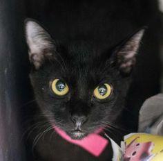 Meet Kyla, a Petfinder adoptable Domestic Short Hair Cat | Decatur, GA | Dekalb County Animal Services 845 Camp Rd Decatur, GA 30032