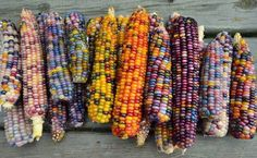 Unique Strain of Corn Has Naturally Rainbow-Colored Kernals That Look Like Glass Jewels