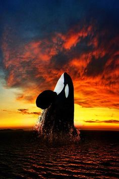 Killer Whale rising at sunset.