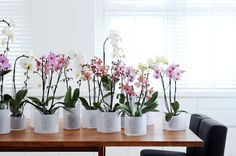 How to make a Phalaenopsis Orchid to bloom? Mini Plants, Cool Plants, Phalaenopsis Orchid, Garden Trees, Go Green, Shrubs, House Plants, Planting Flowers, Lawn