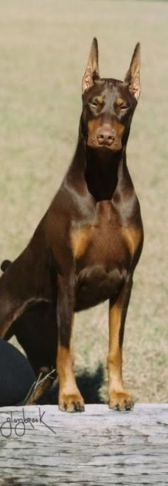 b21cd600a136959a5462c558e00fb491.jpg (252×730) #dobermanpinscher