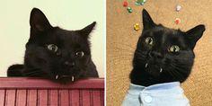 Meet Monk, the Adorable Black Vampire Kitten  #pets #cat #vampire