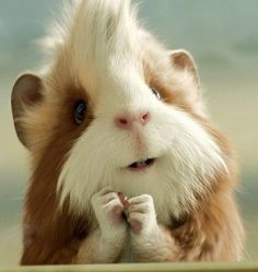 Oh goodie! A guinea pig with a Mohawk.  LOL