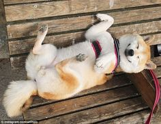 Life is So So good for this happy Shiba Inu Doge! Shiba Inu Doge, Pet Dogs, Dog Cat, Weiner Dogs, Japanese Dogs, Japanese Akita, Funny Animals, Cute Animals, Inu Yasha