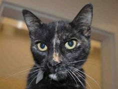 SUNSHINE is an #adoptable Domestic Short Hair Cat in #Martinez, #CA.  ...