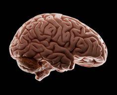 Model of human brain, studio shot