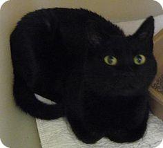 Domestic Mediumhair Cat for adoption in Zanesville, Ohio - 41287 Mummie sponsored $15