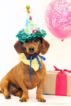 Birthday Week: Ammo the Dachshund turns Happy Birthday Dachshund, Happy Birthday Meme, Birthday Week, Dog Birthday, Birthday Greetings, Birthday Bash, Dachshund Love, Daschund, Weenie Dogs
